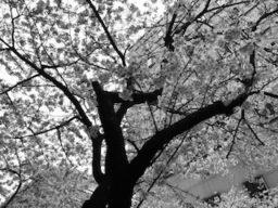散る桜(良寛)